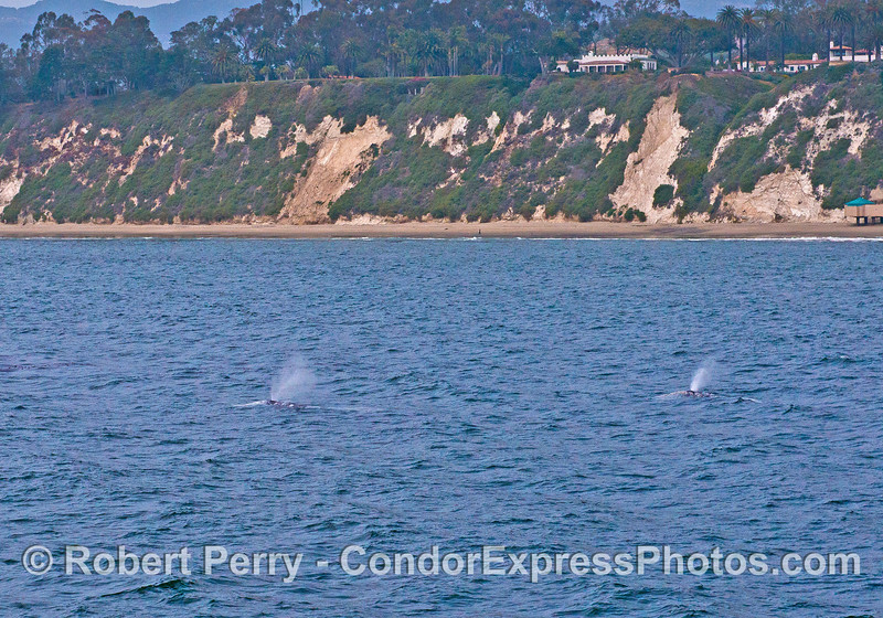 Whales near Hope Ranch