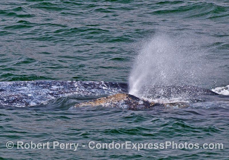 Gray whale calf spouts in close proximity to mom's body.