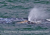 Gray whale calf spouts in close proximity to mom's body.