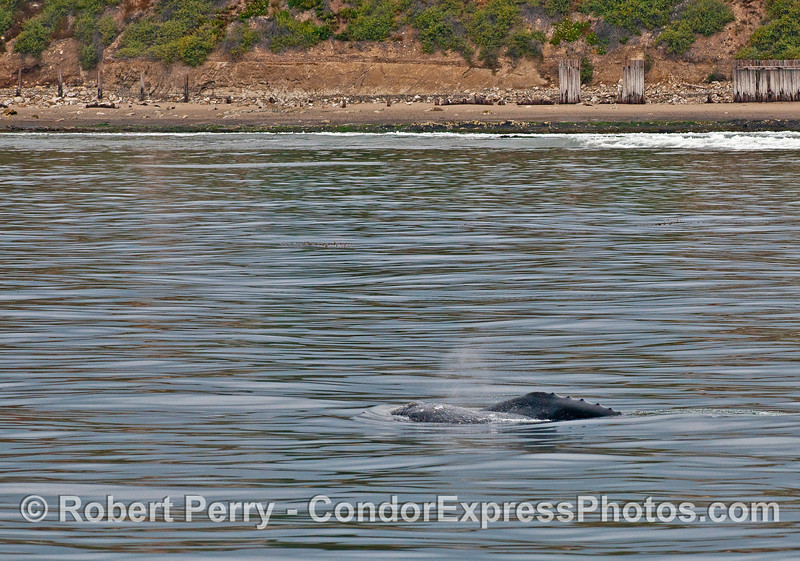 Gray whale mother and calf near Elwood beach.