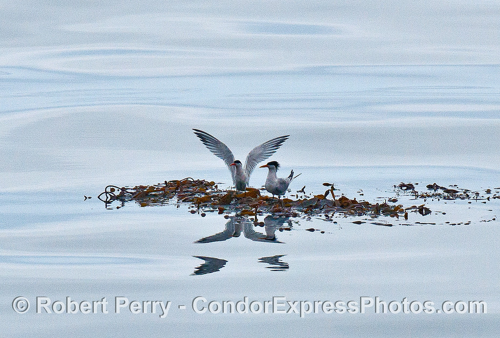 Two elegant terns on a detached, drifting giant kelp paddy.