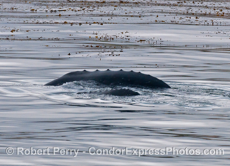 Dorsal ridges - mother gray whale and calf.