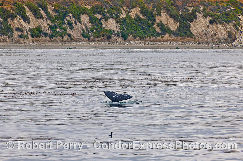 Gray whale tail near the kelp forest.