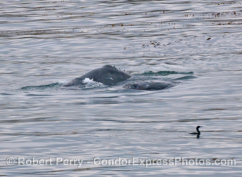 Mother gray whale and calf.