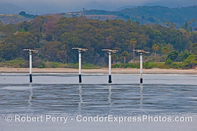 Cormorant roosting and nesting habitats - Elwood beach.