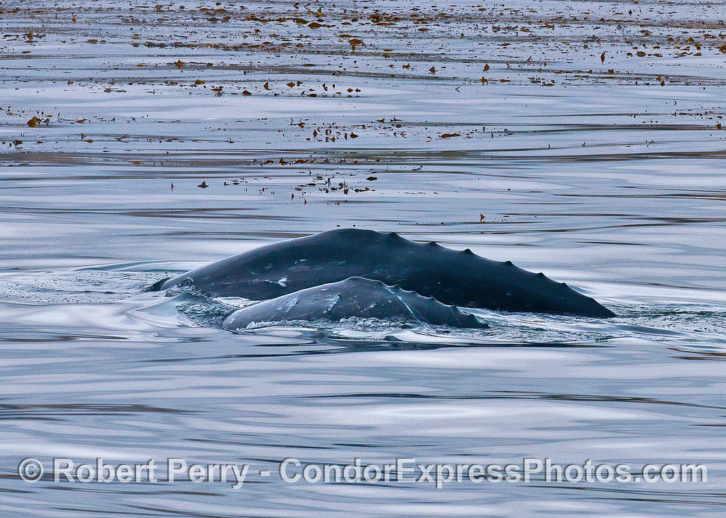 Knobs or ridges along the back of a mother gray whale and her calf.