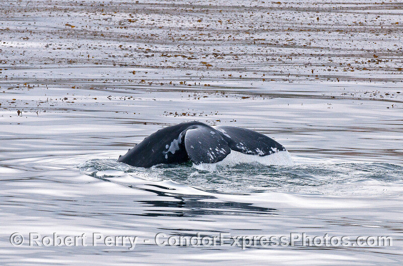 Gray whale tail in the kelp forest.