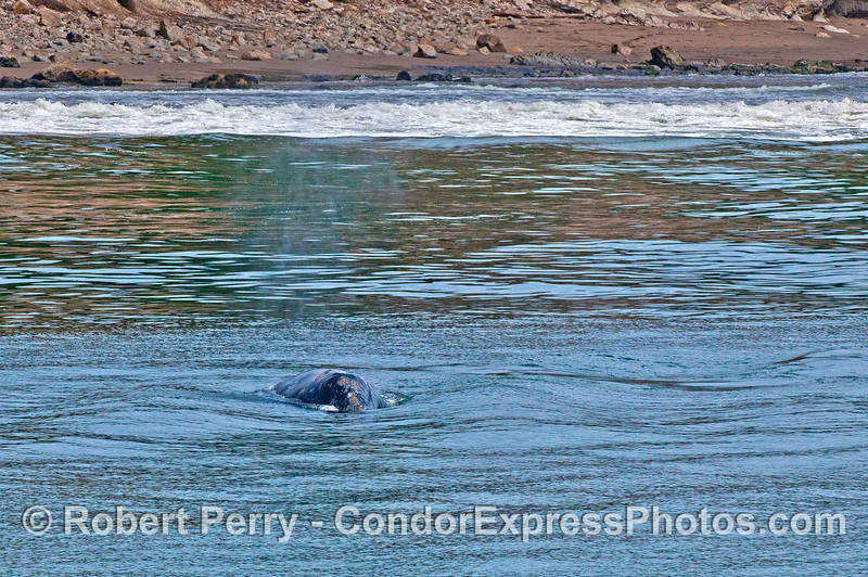 A head-first photograph of a mother gray whale that is moving into deeper water after following her curious calf into the surf zone.