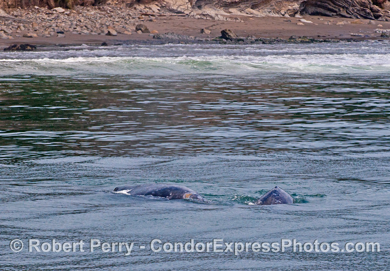 Mom and calf gray whales in the surf zone.