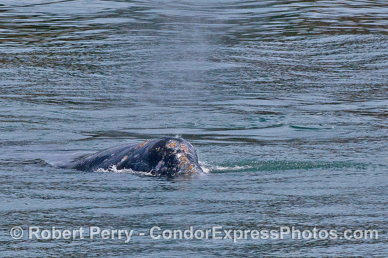 Close up and head-first view of a gray whale spouting.