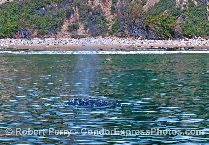 Northbound gray whales enjoy the beachfront view.