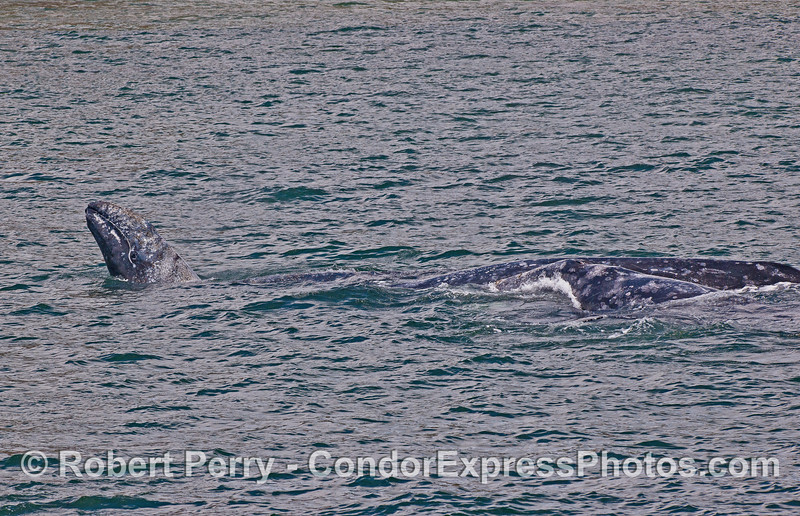 A melange of 6 gray whales with 3 mothers and their calves, stop for play time and perhaps some nursing.