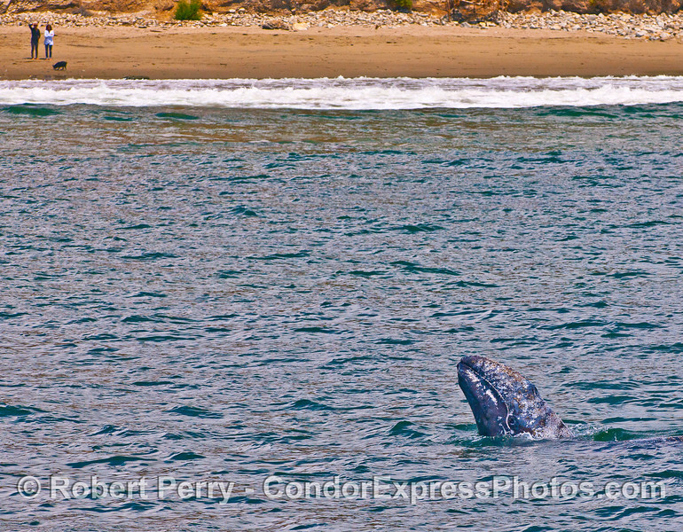 Who is watching who?  Gray whale calf in the surf zone, close to shore, spy hops as a couple and their dog whale watch from the beach.