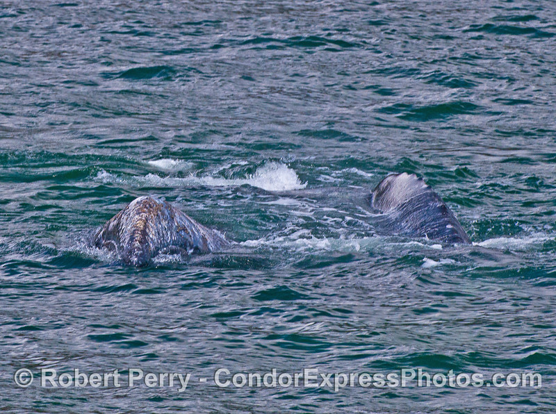 Two gray whales heading for the camera.