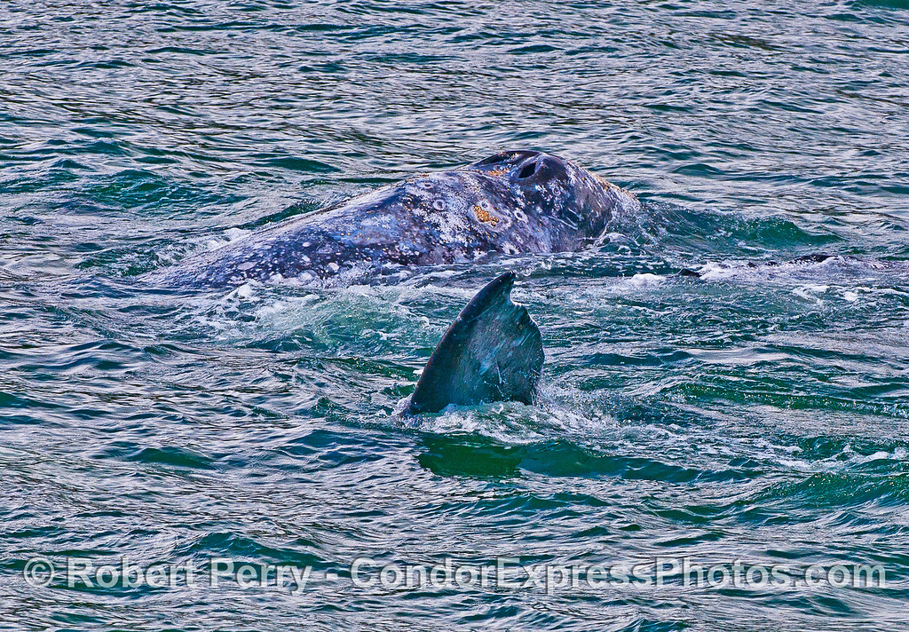 Gray whales interacting.   A tail fluke sticks up out of the water.