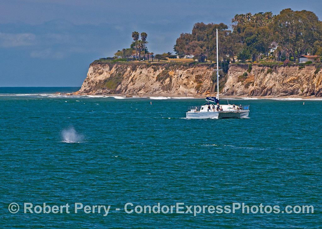 A catamaran rounds Santa Barbara Point to find a group of gray whales heading up the coast at Leadbetter.