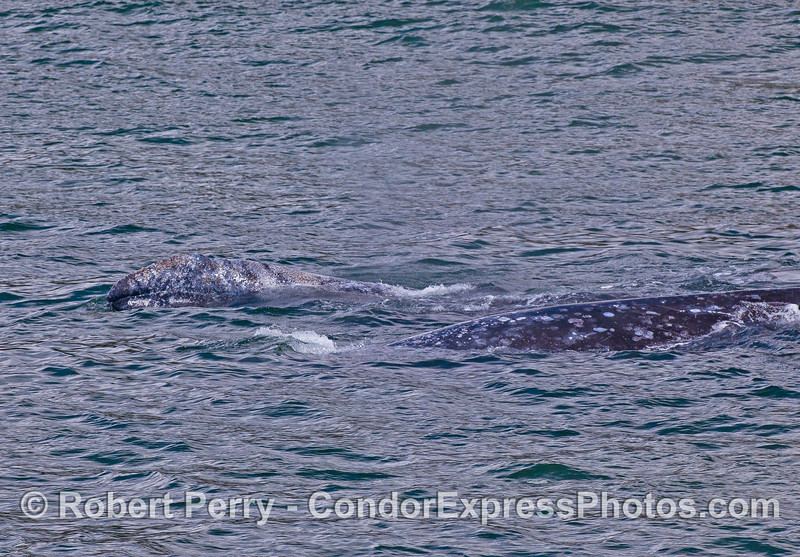 Mother gray whale (right) and her calf (left).  The calf is lifting its head.