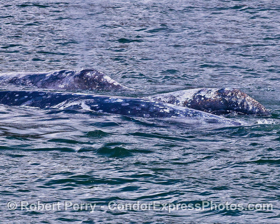 Three gray whales, part of a hexapod.