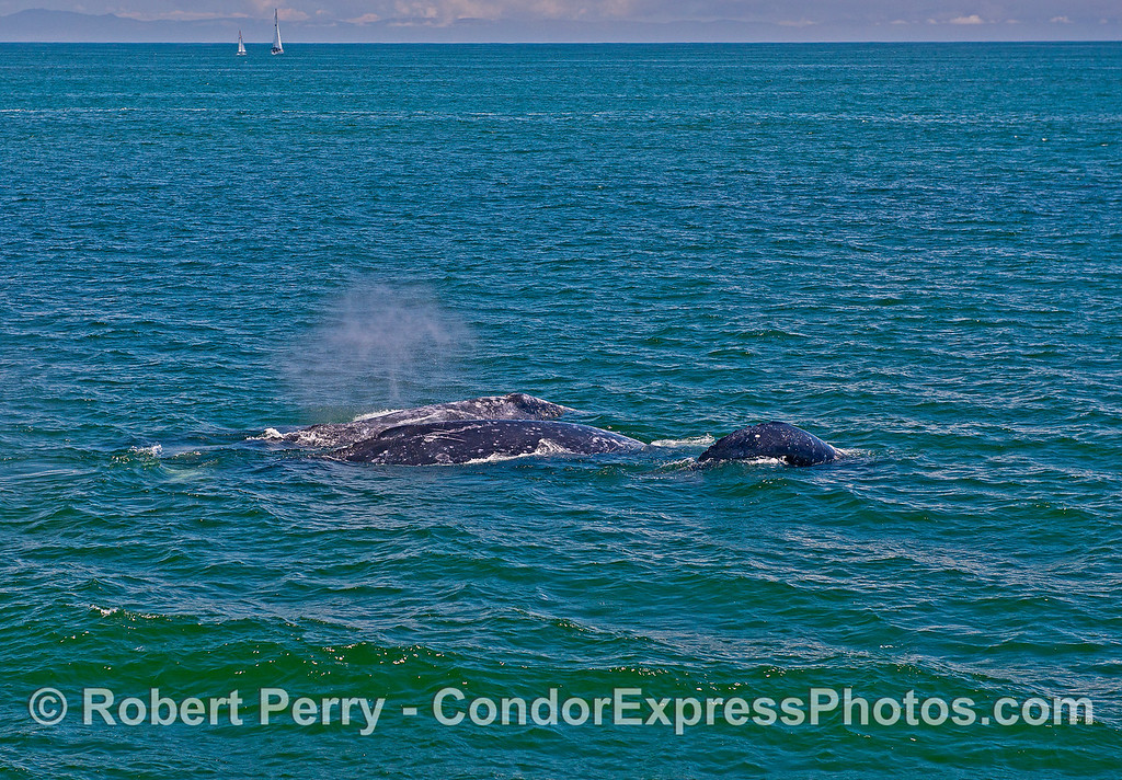 Part of a foursome of gray whales migrating side by side.