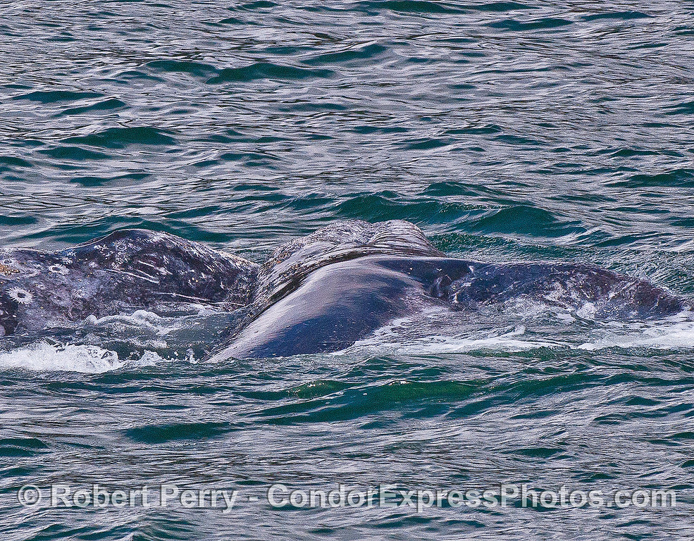 Two gray whales interacting (playing, nursing ?) and the whale on the right is completely on its side with its pectoral fin showing.