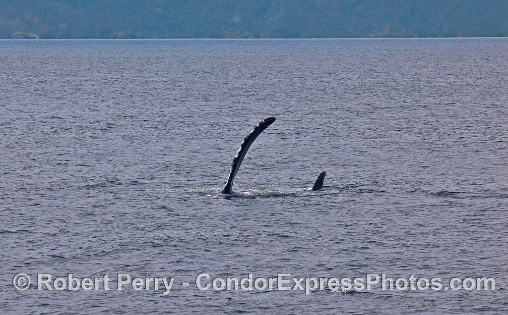 LONG PECTORAL FIN AND SHORT TAIL FLUKE - A HUMPBACK ON ITS SIDE WITH SANTA CRUZ ISLAND IN THE BACK.
