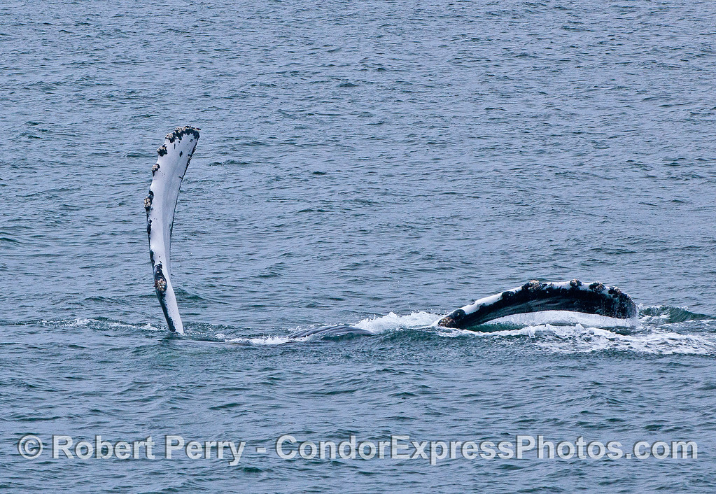 A HUMPBACK USED BOTH PECTORAL FLIPPERS TO SLAP THE WATER.