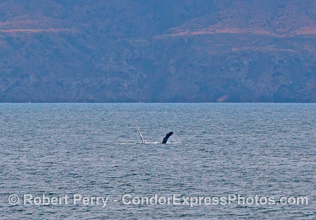 SANTA CRUZ ISLAND FORMS A BACKDROP FOR A PECTORAL-FIN SLAPPING, VERY ACTIVE, HUMPBACK WHALE.