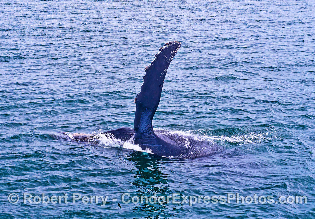 CLOSE APPROACH ENABLES A VIEW FROM ABOVE.  PECTORAL FIN RAISED.