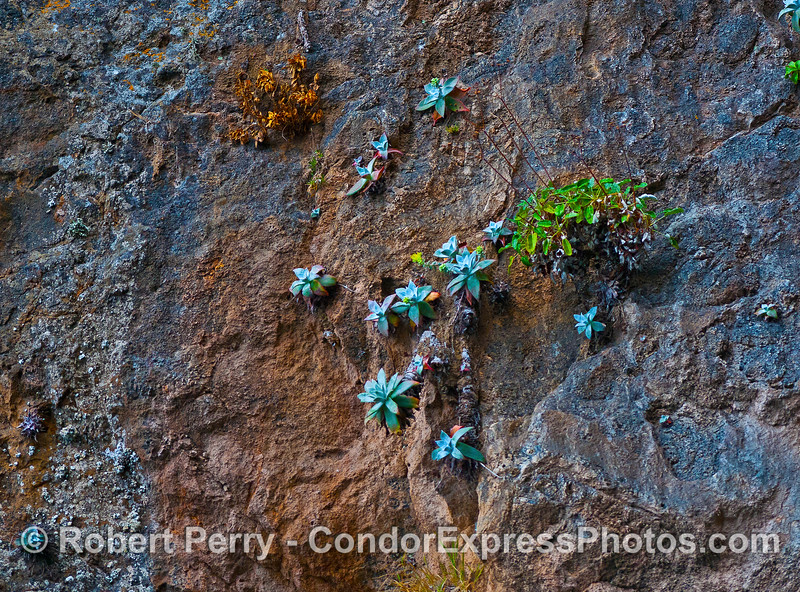 SANTA CRUZ ISLAND DUDLEYA CLINGS TO THE ROCK WALLS OF THE WORLD FAMOUS PAINTED CAVE.