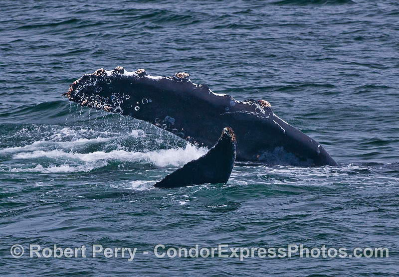 CRISS-CROSS FINS.  ONE HUMPBACK WHALE ON ITS SIDE TWISTING AS IN A YOGA POSITION.  PECTORAL AND TAIL FINS SHOWING.