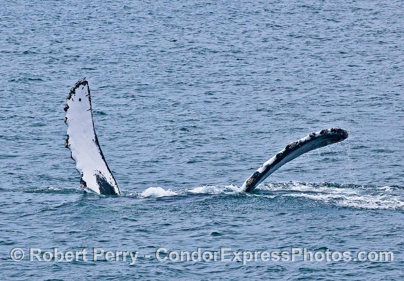 ARMS SPREAD APART AND EXPOSED TO THE AIR BY AN UPSIDE DOWN, PEC-SLAPPING, HUMPBACK WHALE.