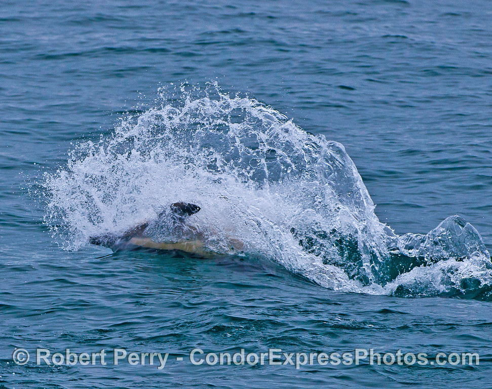 IMAGE 1 OF 4:  A LONG-BEAKED COMMON DOLPHIN CHASES SARDINES ON THE SURFACE.