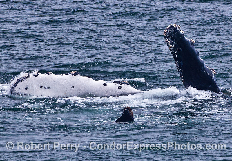 A THREE-FIN SPECIAL FROM A SINGLE, UPSIDE DOWN HUMPBACK.