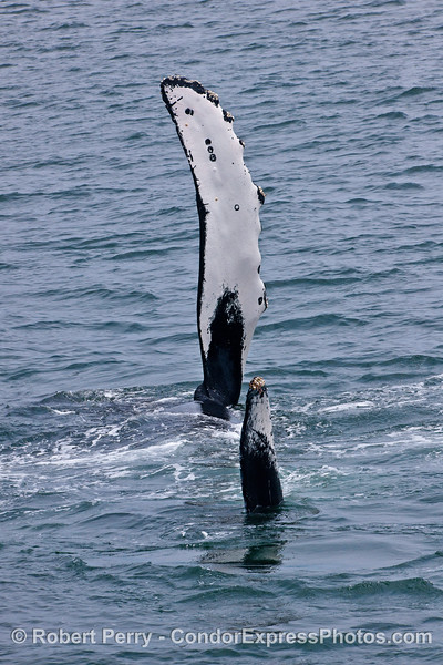 TAIL TO HEAD PHOTO WITH PECTORAL FIN AND TAIL FLUKE VERTICAL.
