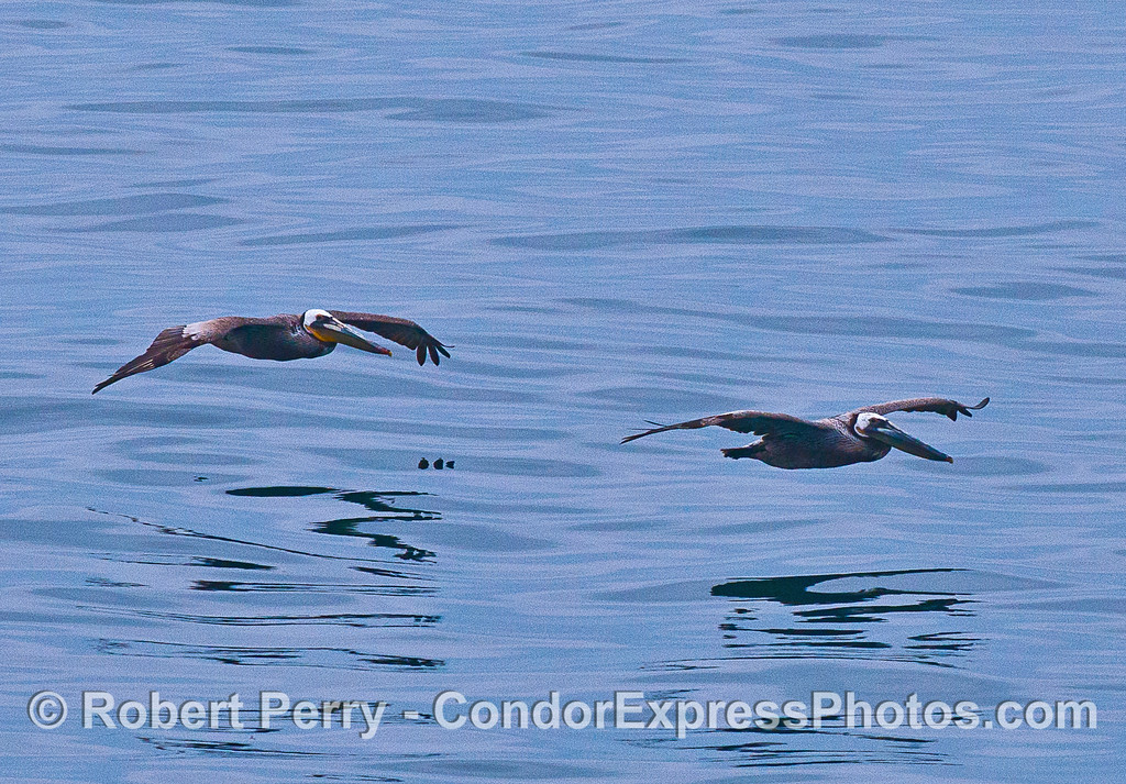 TWO SOARIN BROWN PELICANS ON A GLASSY SEA