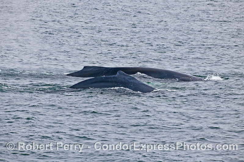 ONE OF SEVERAL HUMPBACK PAIRS IN CLOSE PROXIMITY.
