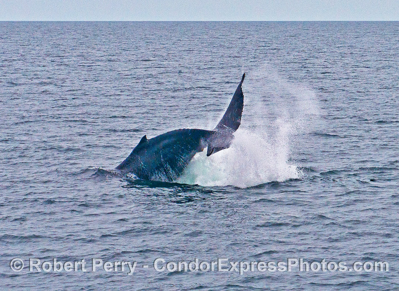 IMAGE 2 OF 2:  HUMPBACK TAIL THROW SEQUENCE BIG THUNDER.