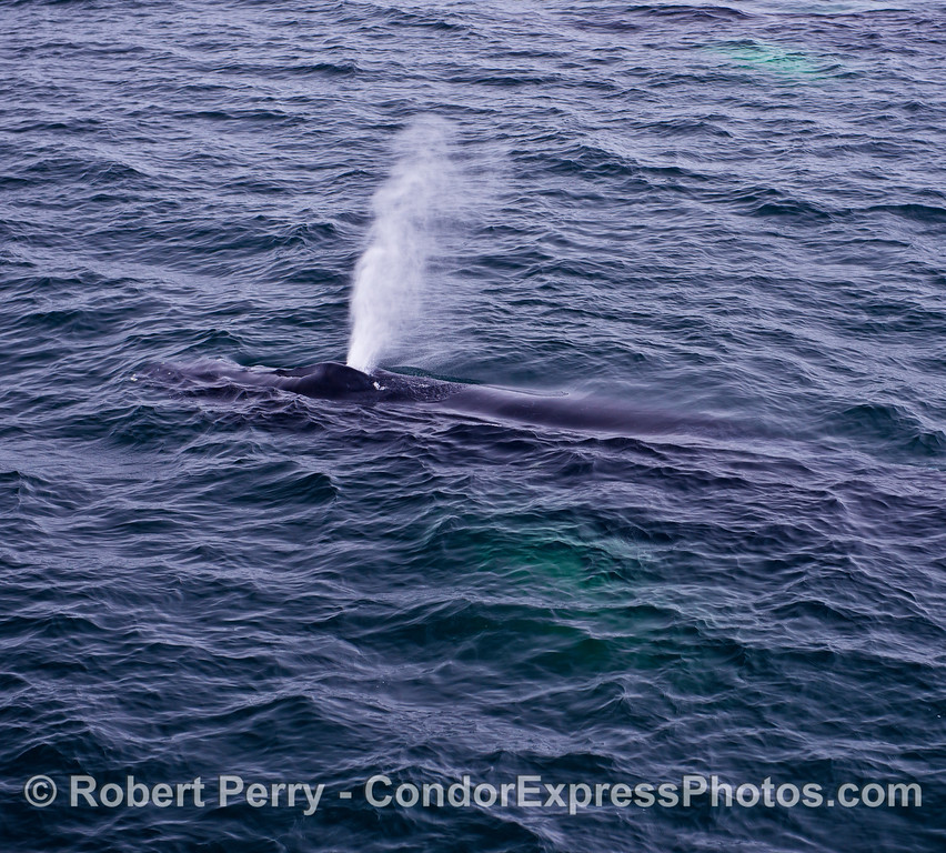 DRONE'S-EYE VIEW FROM ABOVE:  A HUMPBACK SPOUTS