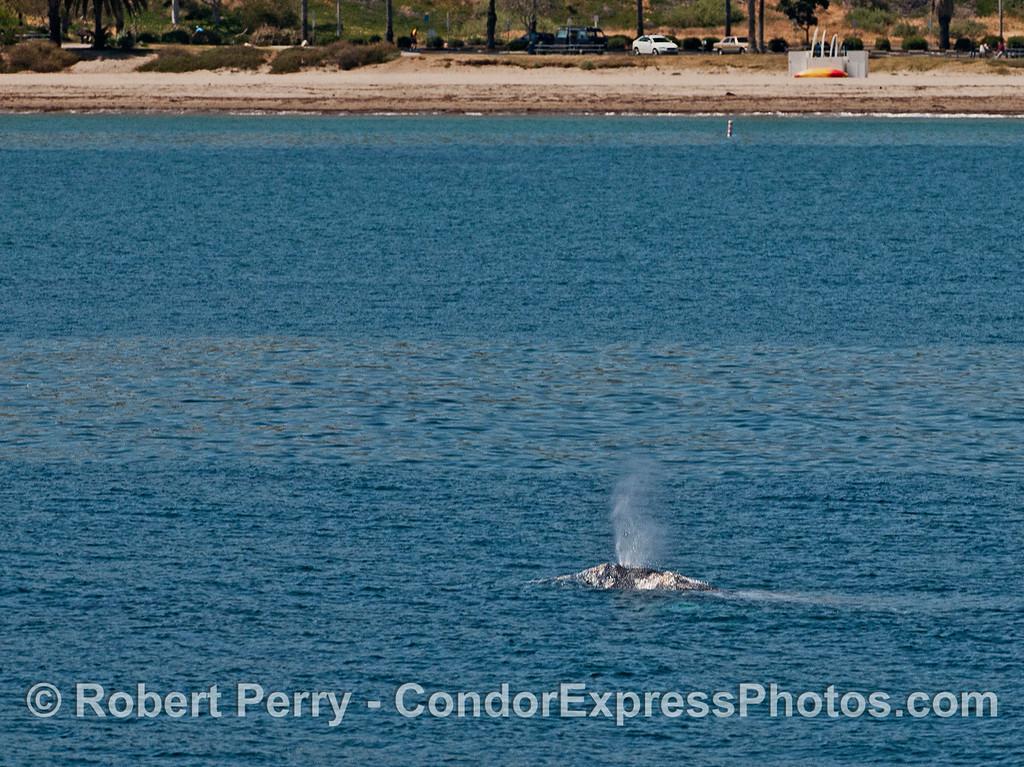 Spouting gray whale near the beach.
