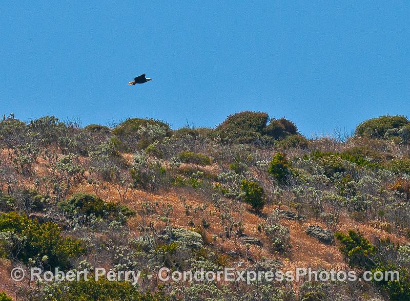 Image 1 of 3:  A bald eagle soars above the sea cliffs - Santa Cruz Island.
