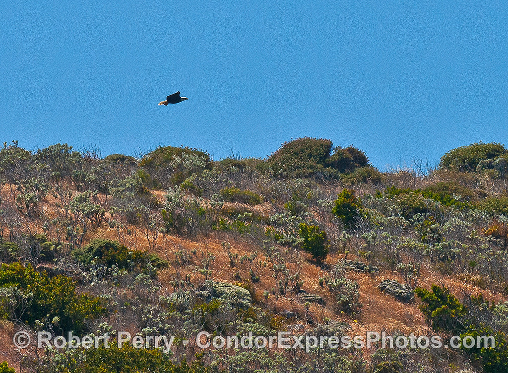 Image 1 of 3:  A bald eagle soars above the sea cliffs - Santa Cruz Island.