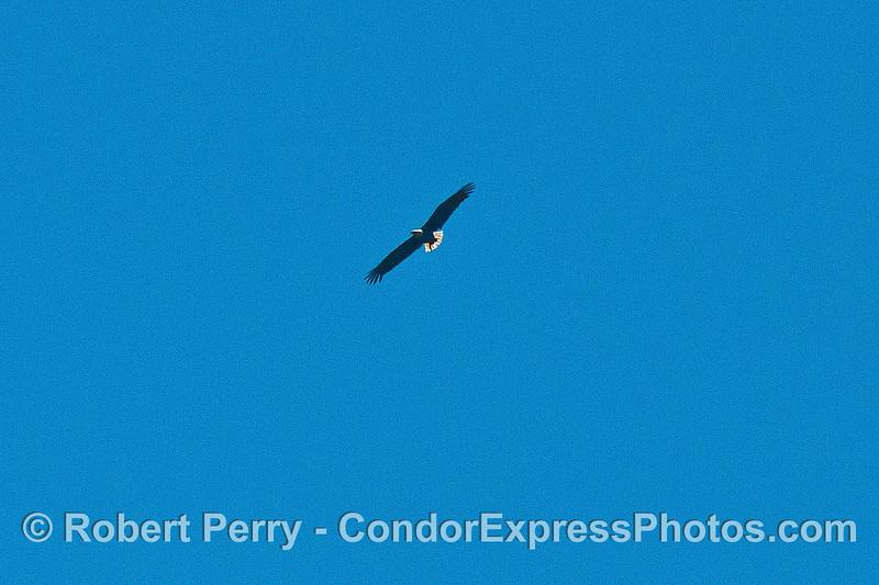 Image 3 of 3:  A bald eagle soars above the sea cliffs - Santa Cruz Island.