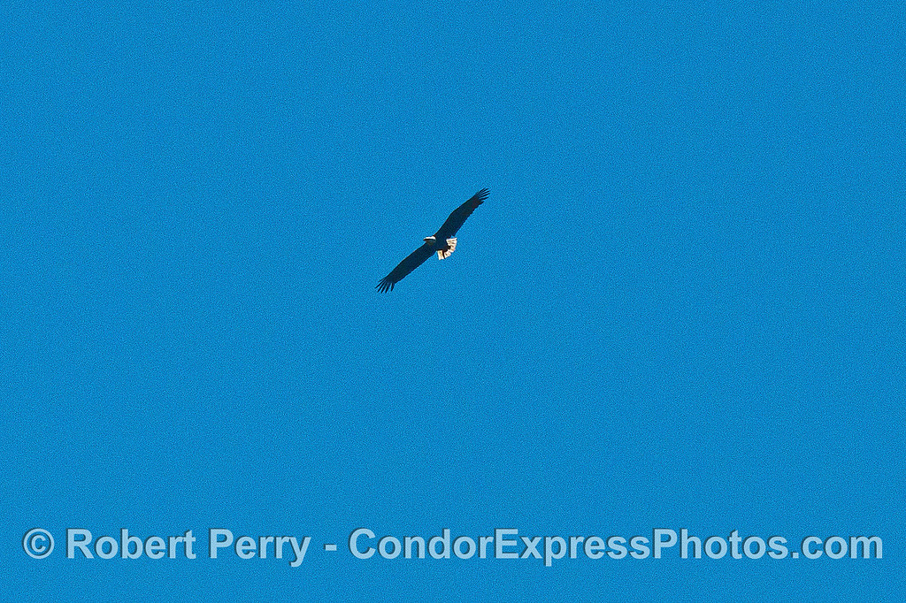 Image 3 of 3:  A bald eagle soars above the sea cliffs - Santa Cruz Island.