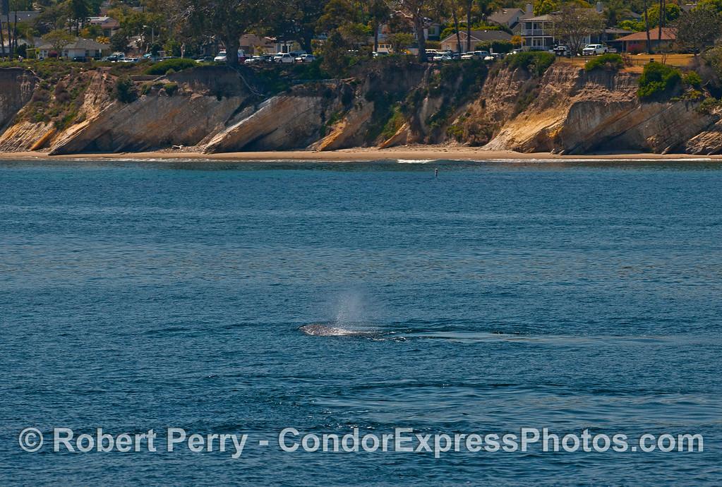 Gray whales off Shoreline Park.