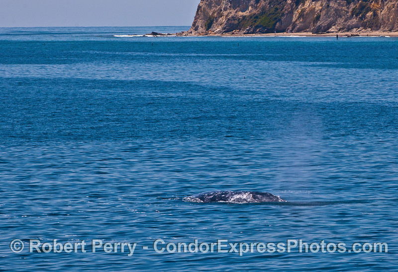 Gray whales heading for Leadbetter Point.