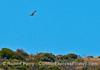 Image 2 of 3:  A bald eagle soars above the sea cliffs - Santa Cruz Island.