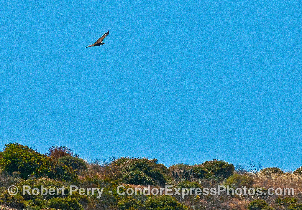 Image 2 of 3:  A bald eagle soars above the sea cliffs - Santa Cruz Island.