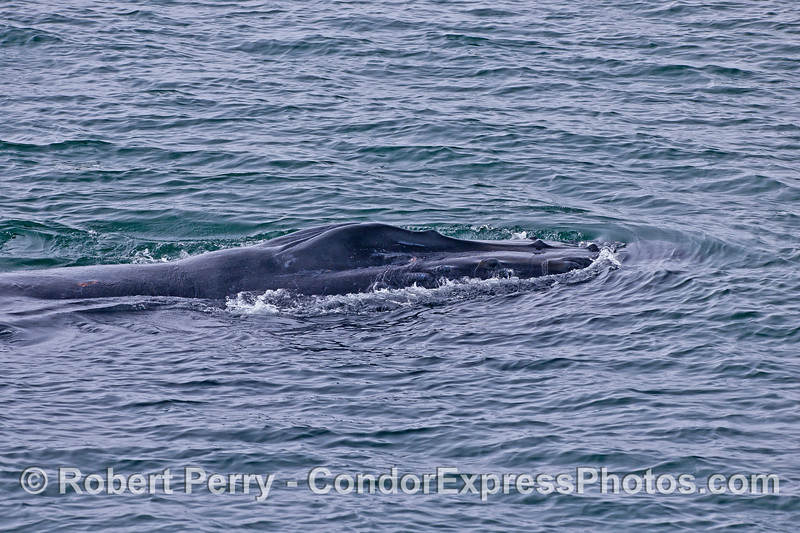 """Image 1 of 7 in a row:  humpback whale """"chomp"""" feeding behavior.  Animal is moving forward normally on the surface."""