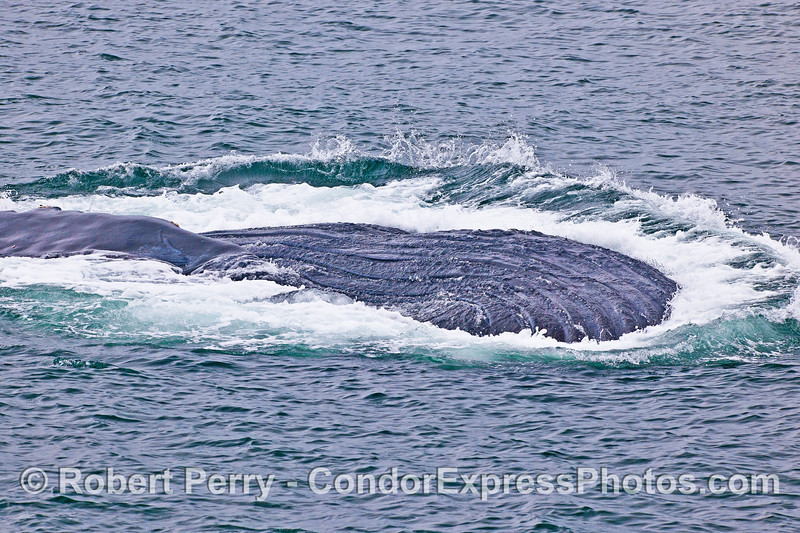 Humpback whale - ventral grooves shed water as this feeding animal breaks the surface upside-down.  Part of a dark-topped pectoral fin can be seen to the left.