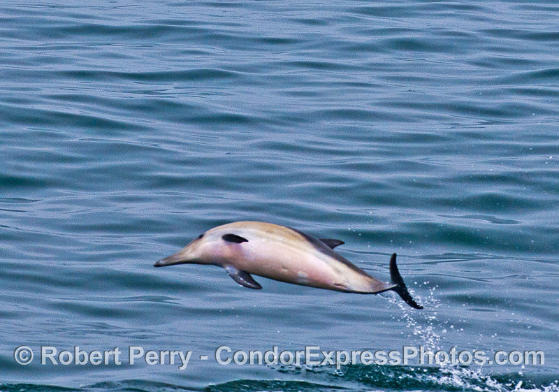 Image 3 of 4:  A leaping long-beaked common dolphin.